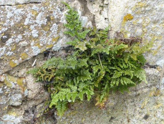 p1010021black-spleenwort