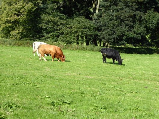 p1010049bull-and-cows