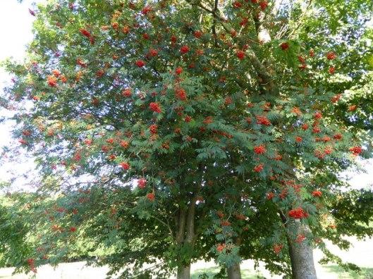 p1010078rowan-tree