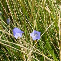 Harebells ( Campanula rotundifolia)
