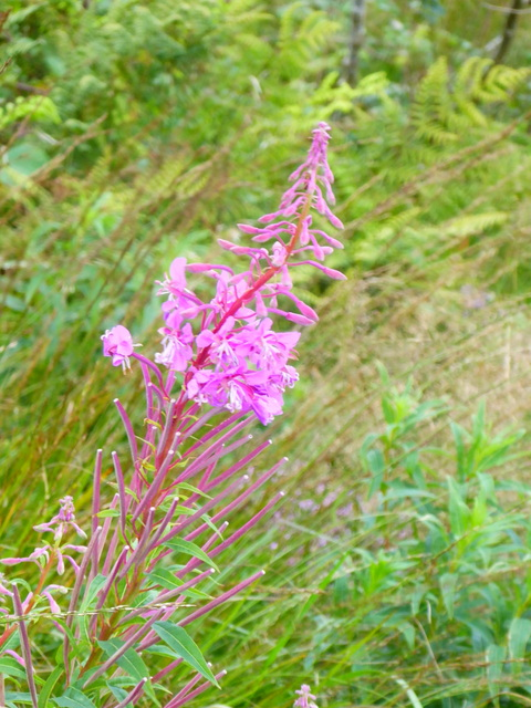 p1010216rosebay-willowherb