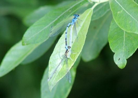 img_2756damselflies