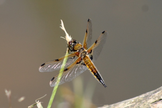 img_2766dragonfly-001