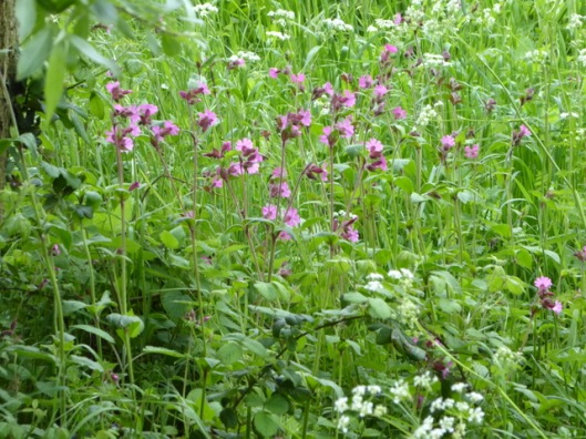 p1000333red-campion