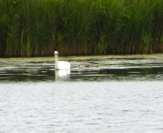 p1000506mute-swans