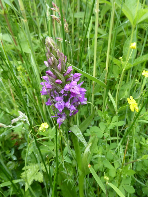 p1000524southern-marsh-orchid