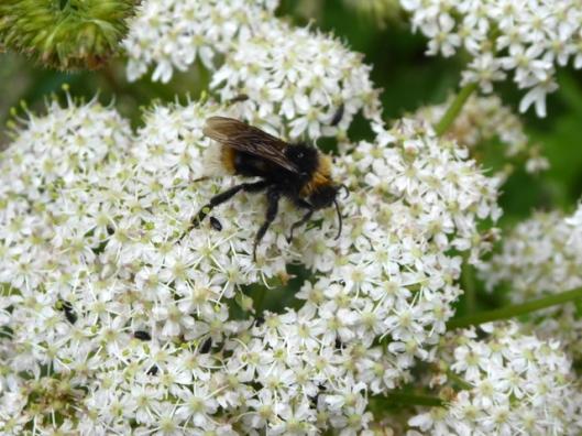 p1000578bumble-bee