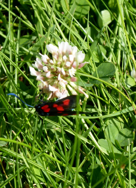 p1000596five-spot-burnet-moth