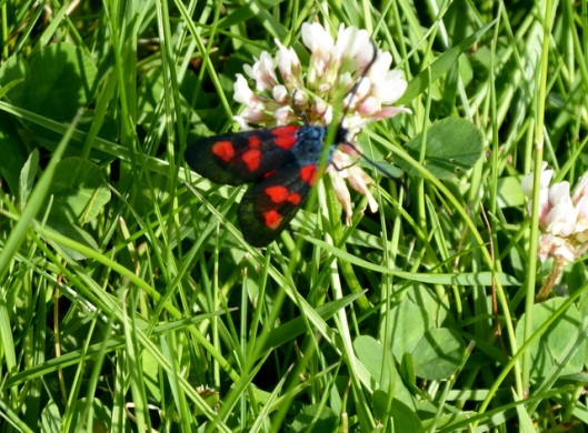 p1000597five-spot-burnet-moth