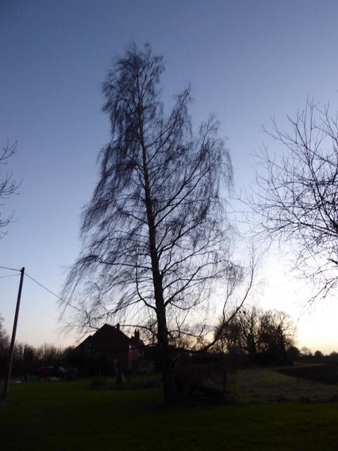 p1010609birch-tree