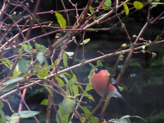 p1010652bullfinch