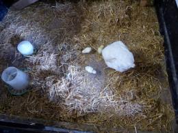 Ixworth hen and chicks