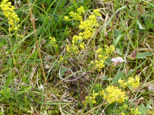 p1000697ladys-bedstraw
