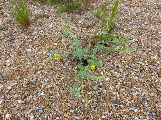 p1000708yellow-horned-poppy