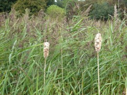 Bulrush and Common Reed