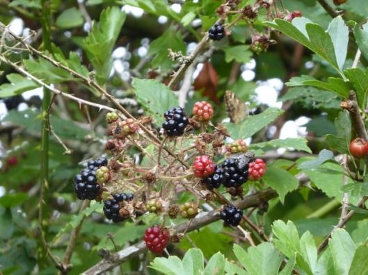 p1010271blackberries