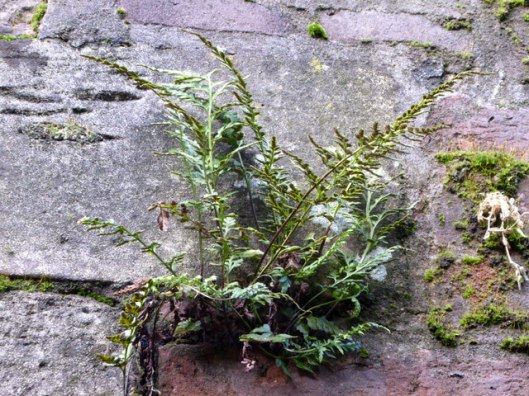 p1010660black-spleenwort
