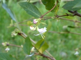 Winter-flowering honeysuckle