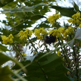 Mahonia with a bumblebee