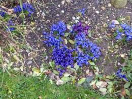 Miniature irises