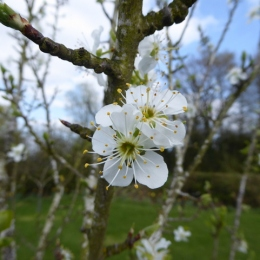 Greengage blossom