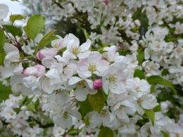 'Evereste' blossom
