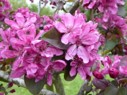 'Harry Baker' blossom