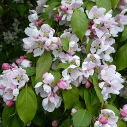 Weeping Crabtree blossom