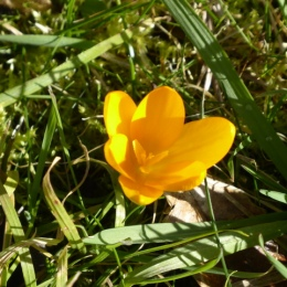 Yellow crocus
