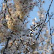 cherry-plum blossom